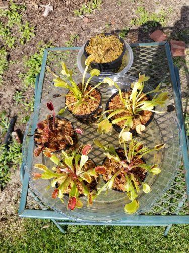 "1x Adult Plant: Short-Toothed Venus Flytrap ""Dente"" Dionaea Muscipula Cultivar photo review"