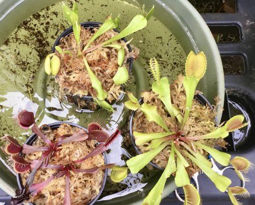 Venus Flytrap Instant Collection Builder -- 3x Plants of Different Cultivars photo review